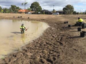 Planting wetlands 2